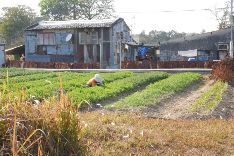 農作物受霜凍 幸好大蘿蔔藏在泥土裡